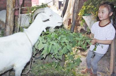 漯河6岁女童成4口之家顶梁柱 每天割草喂羊(图)